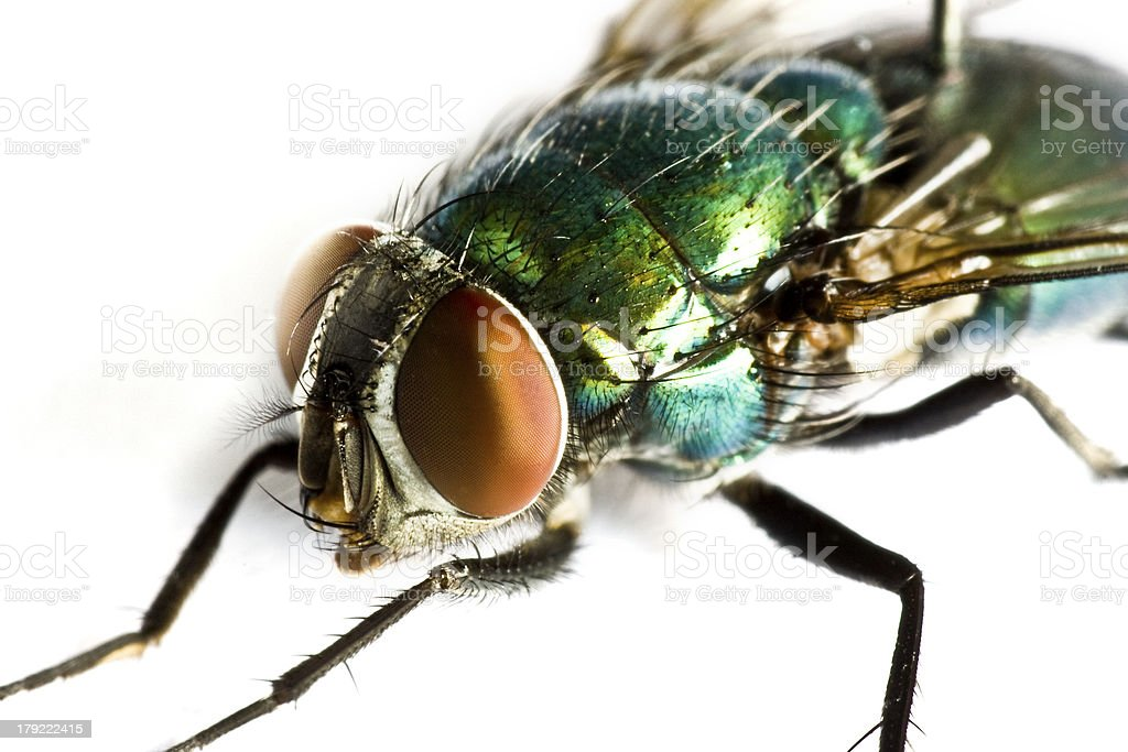 iridescent house fly in close up royalty-free stock photo