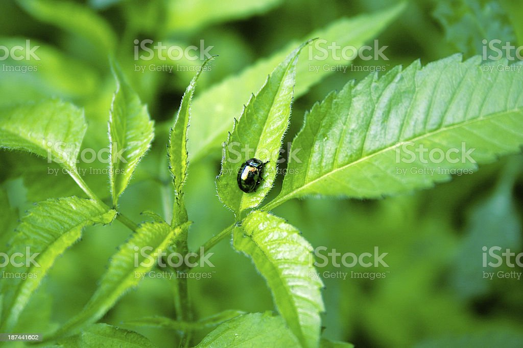 iridescent leaf beetle on green leaves stock photo