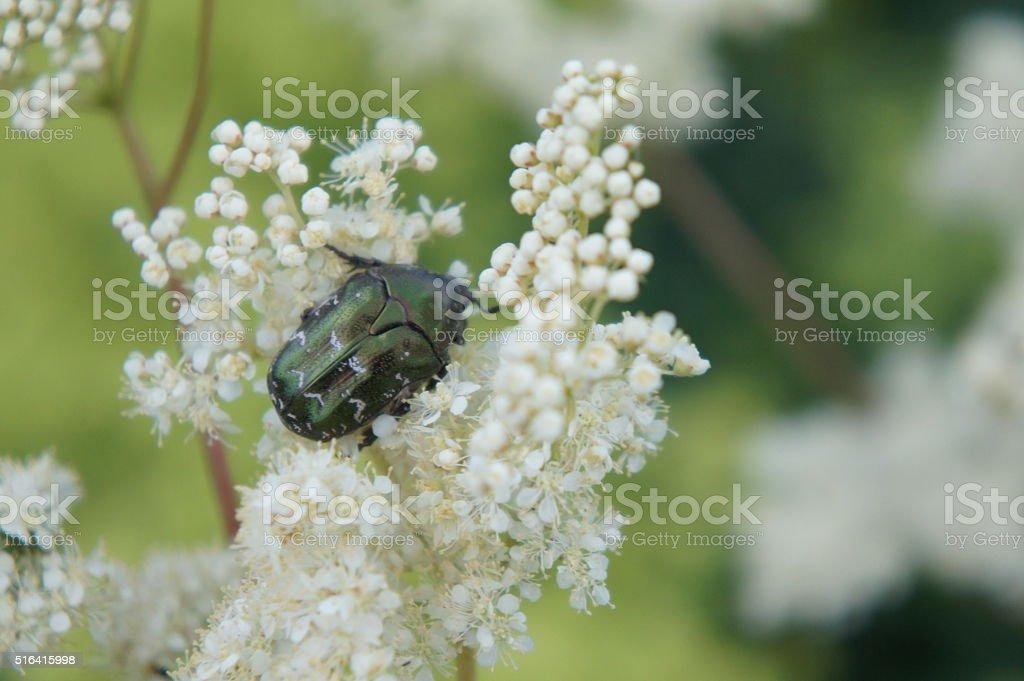 Iridiscent insect stock photo
