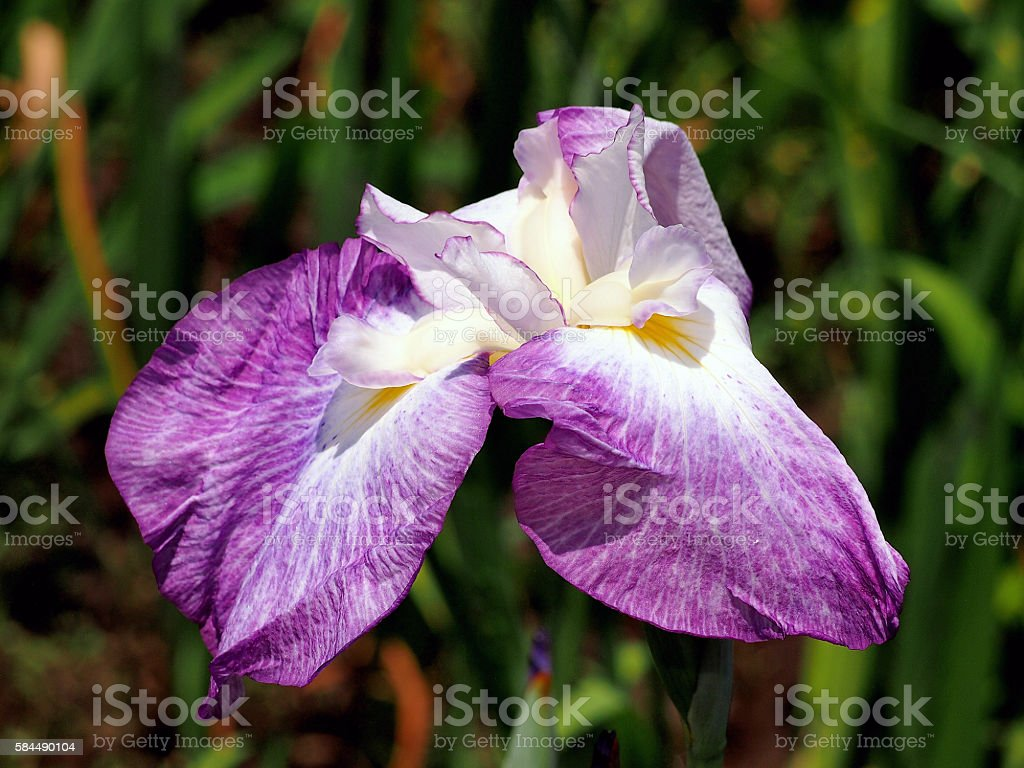 Iris and back wave of system Shiga in Ise stock photo