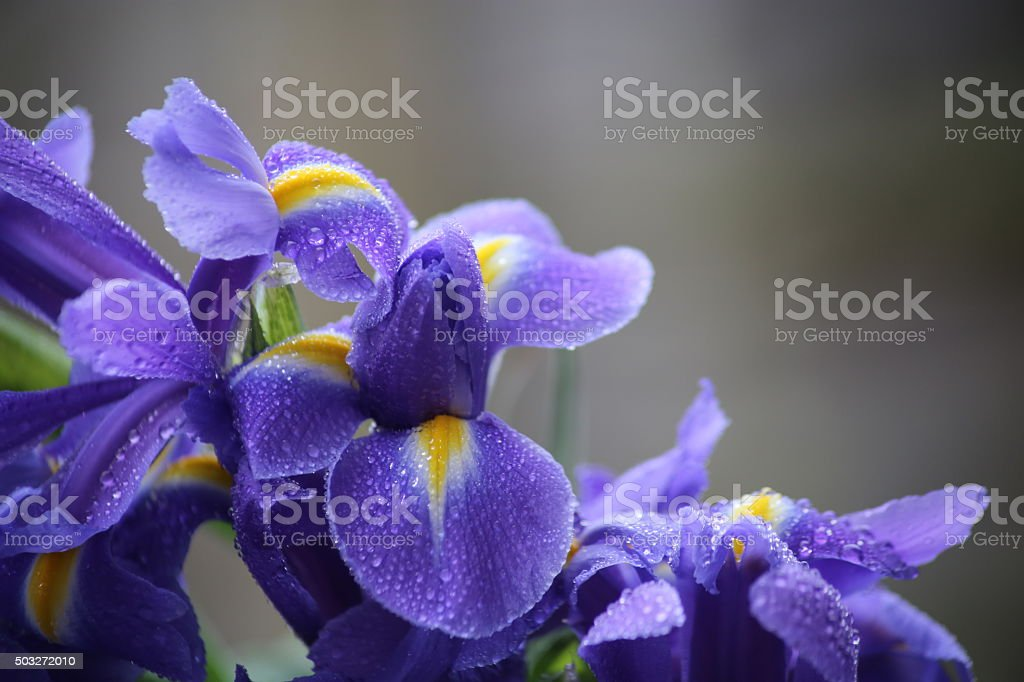 Iris blooms stock photo
