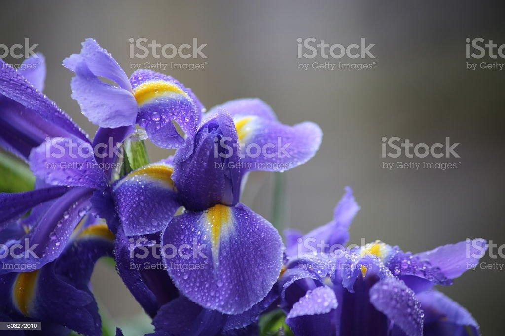 Iris blooms stock photo
