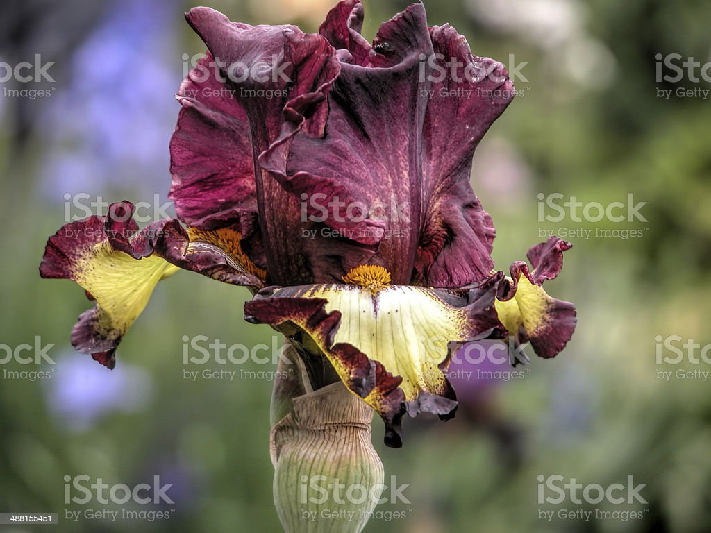 iris burgundy and yellow stock photo