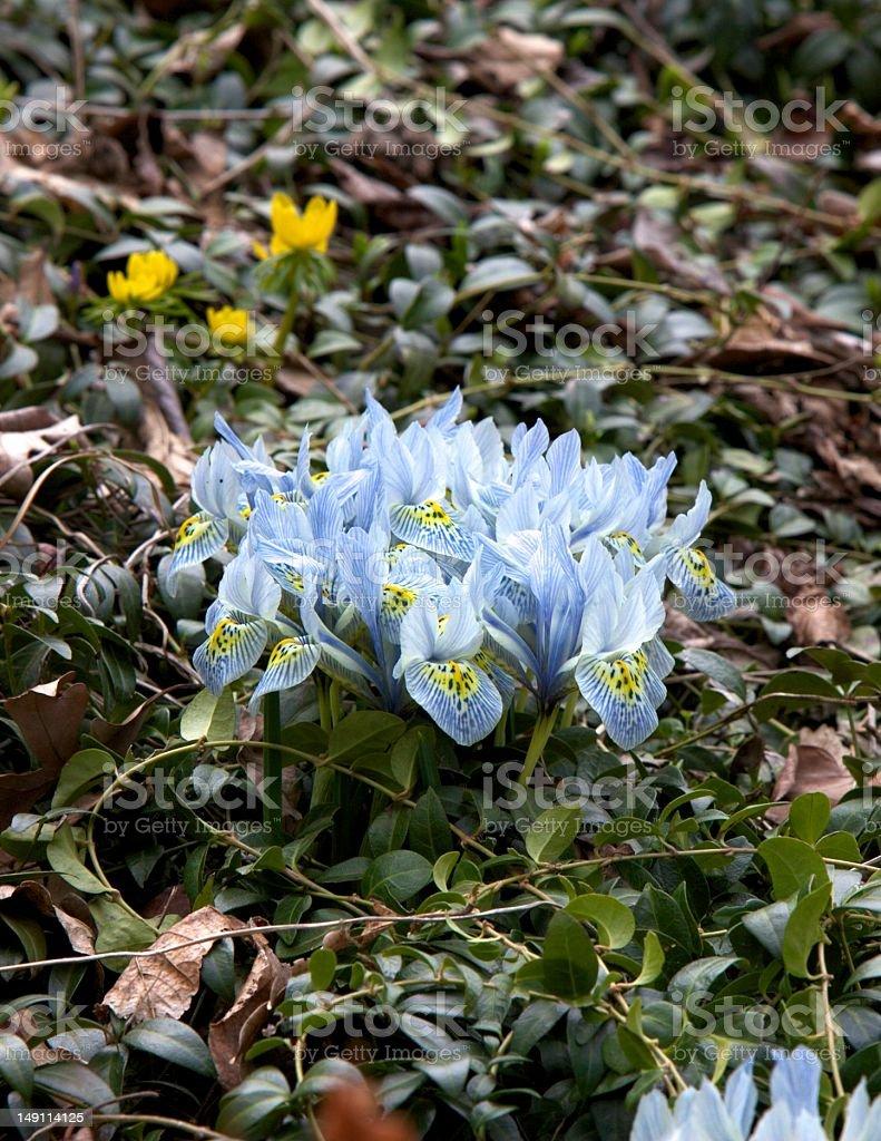 Iris, Dwarf stock photo