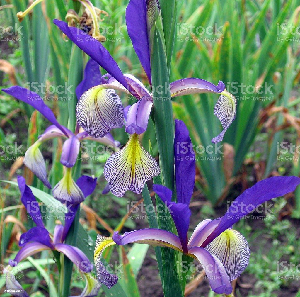 Iris Farolito stock photo