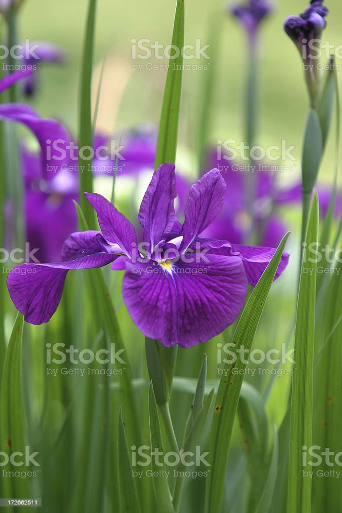 iris field royalty-free stock photo