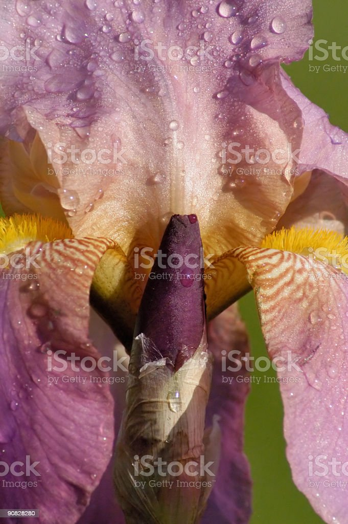 Iris Flower Close-up royalty-free stock photo