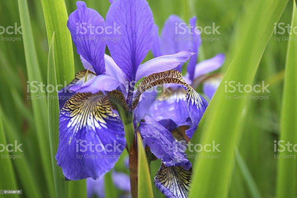 Iris flower in full bloom royalty-free stock photo
