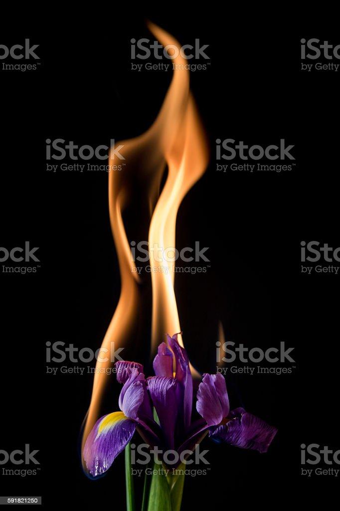 iris flower on fire stock photo