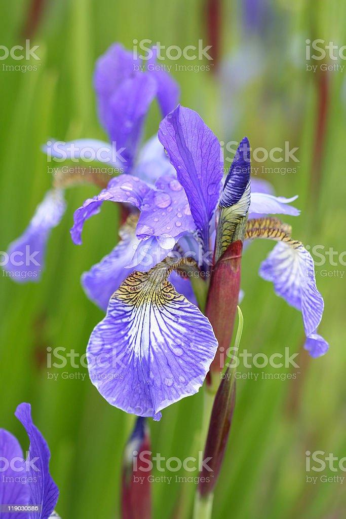 Iris flower royalty-free stock photo