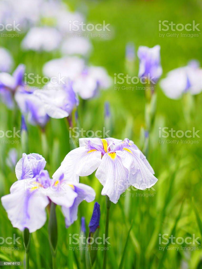 Iris flower stock photo 629816112 istock iris flower royalty free stock photo izmirmasajfo