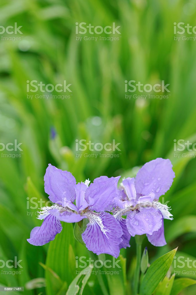 Iris flower with water drops stock photo