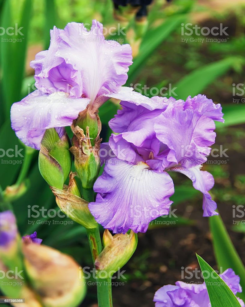 Iris Flowers A Beautiful Spring Flower Bright Color Stock Photo