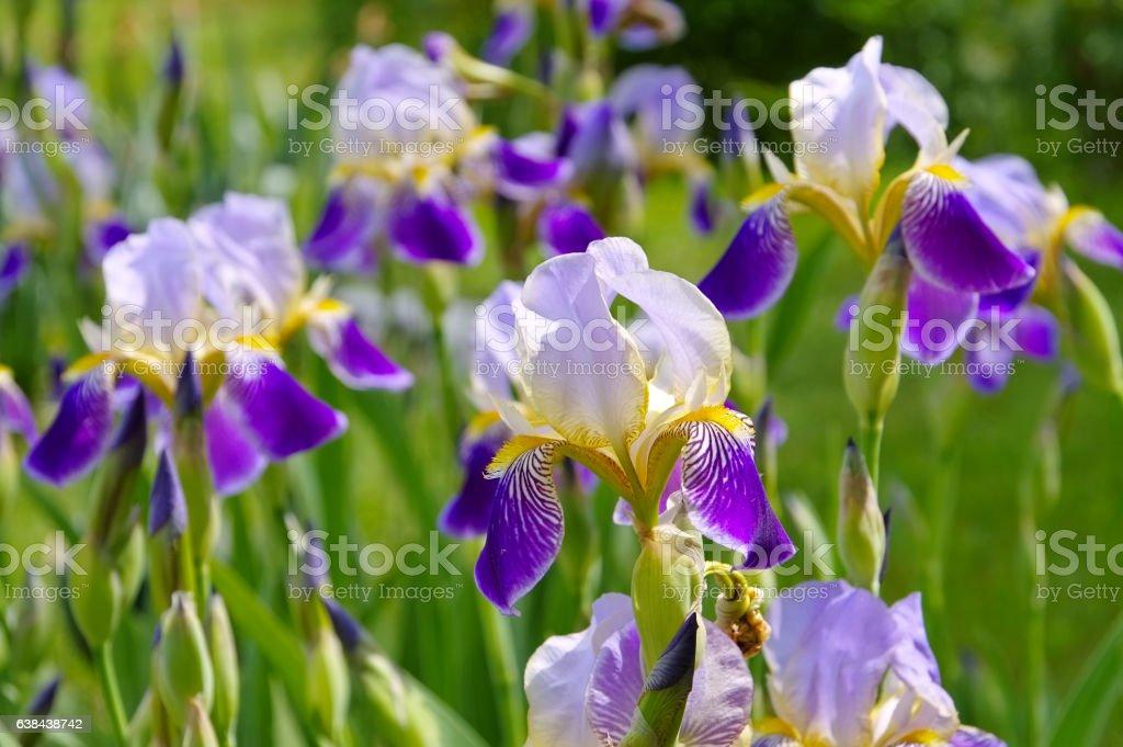 iris flowers in garden stock photo