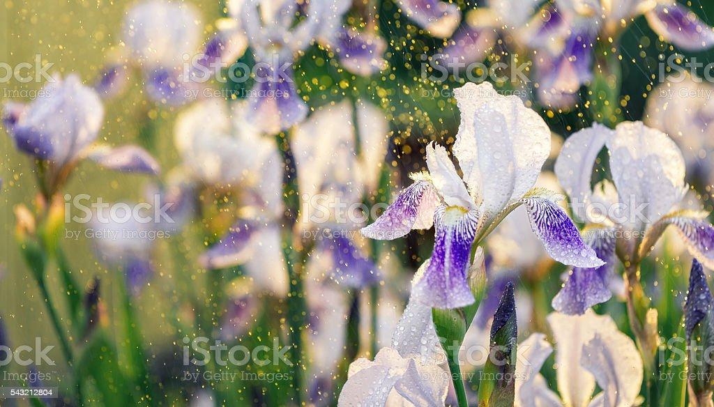 Iris Flowers in the rain stock photo