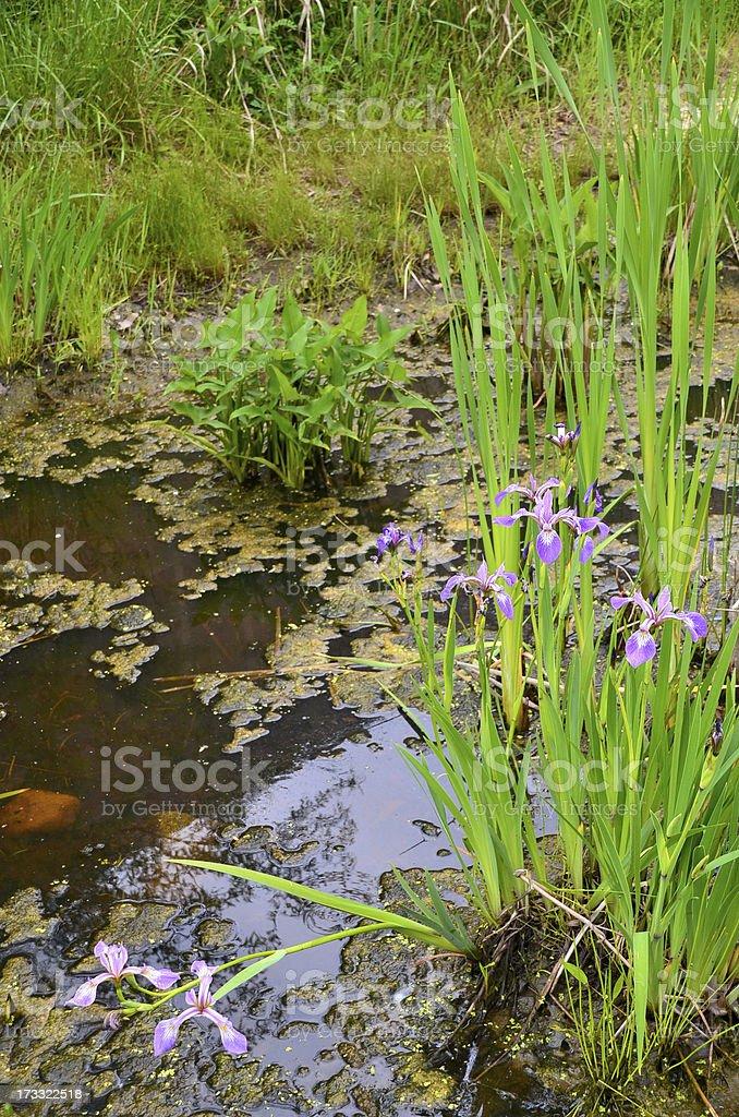Iris flowers royalty-free stock photo