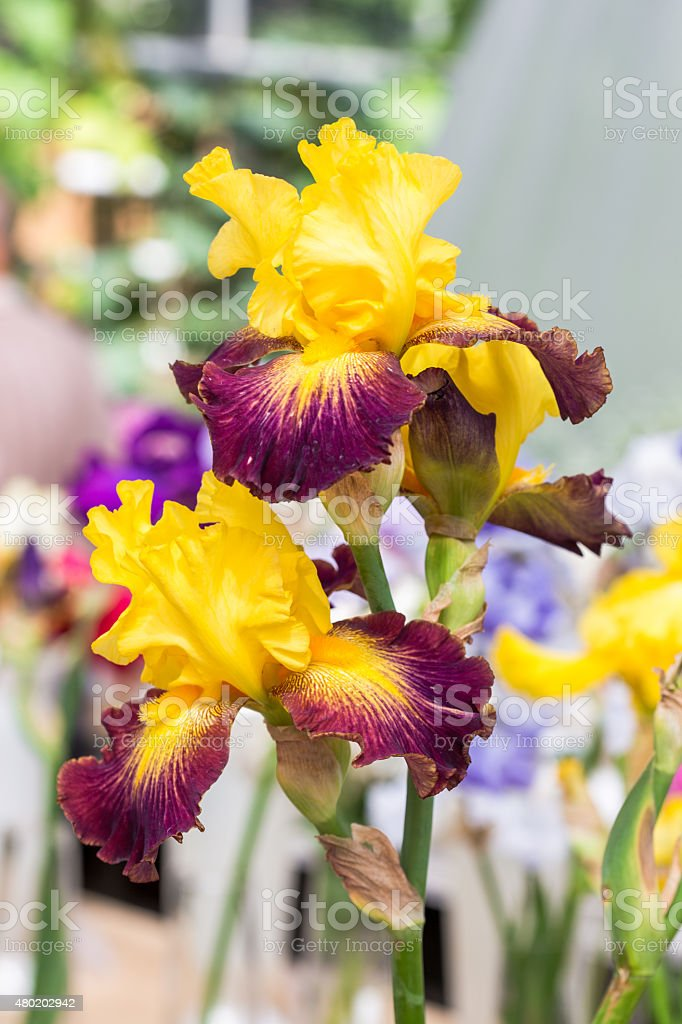 Iris flowers stock photo