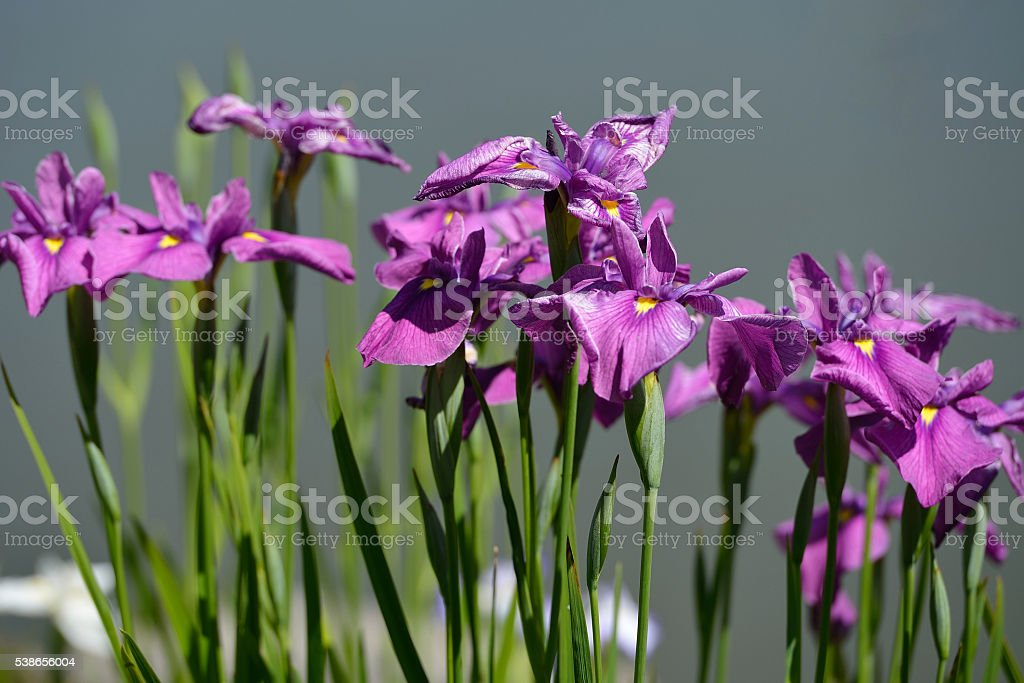 Iris flowers stock photo