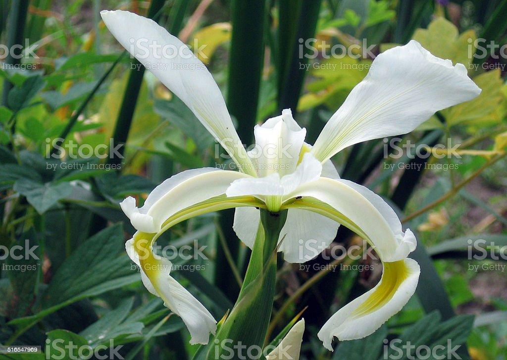 Iris Frigia stock photo