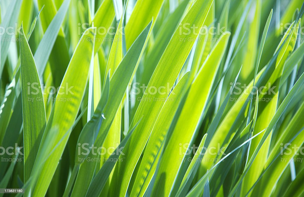 Iris  garden background royalty-free stock photo