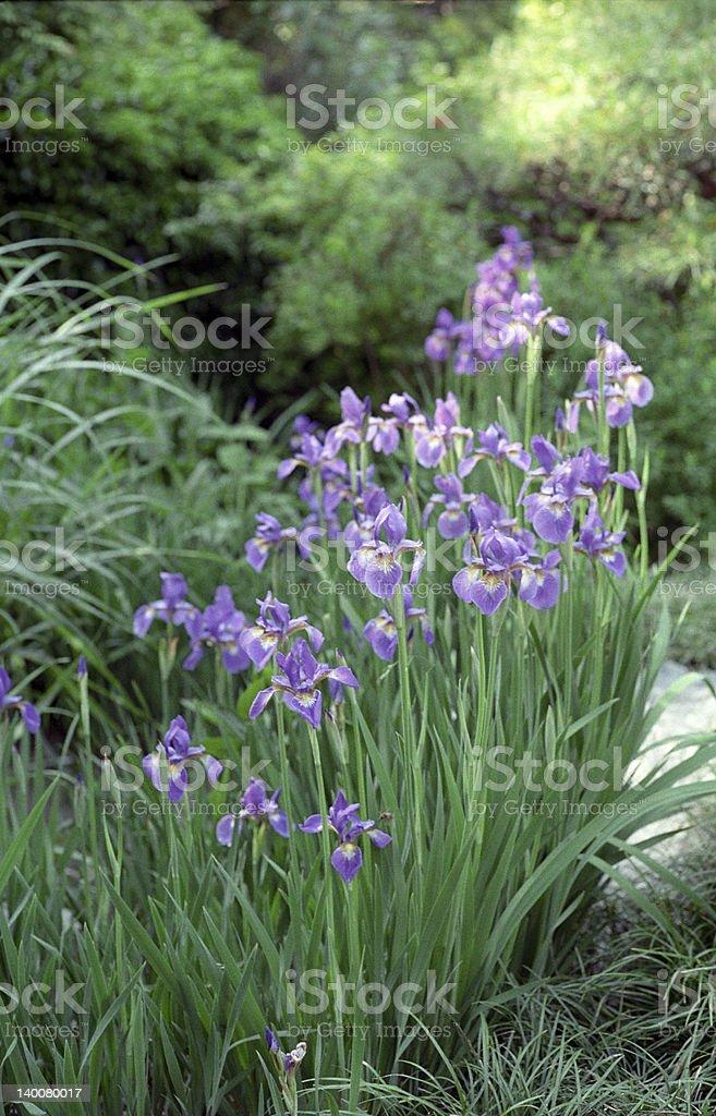 Iris in the Japanese garden royalty-free stock photo