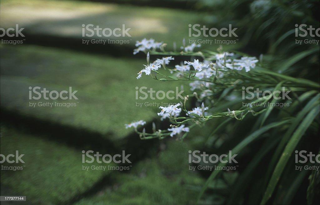 Iris japonica royalty-free stock photo