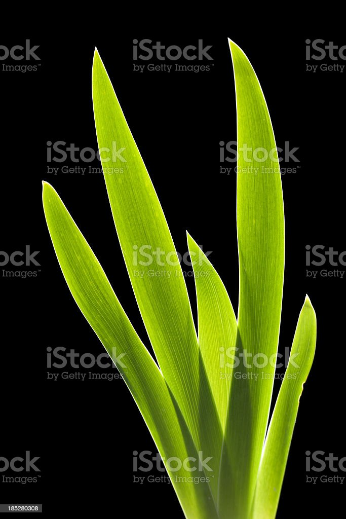 Iris leaves stock photo