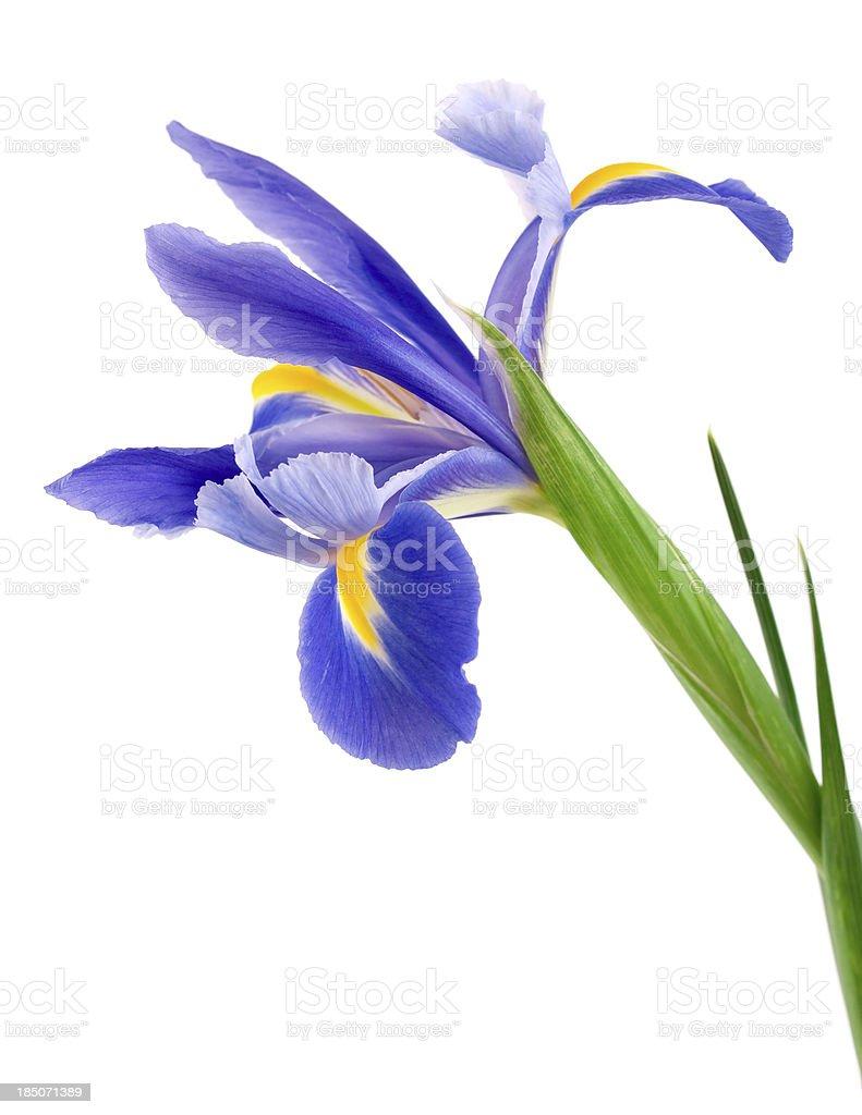 Iris on white background royalty-free stock photo