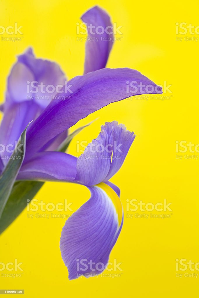 Iris on Yellow royalty-free stock photo
