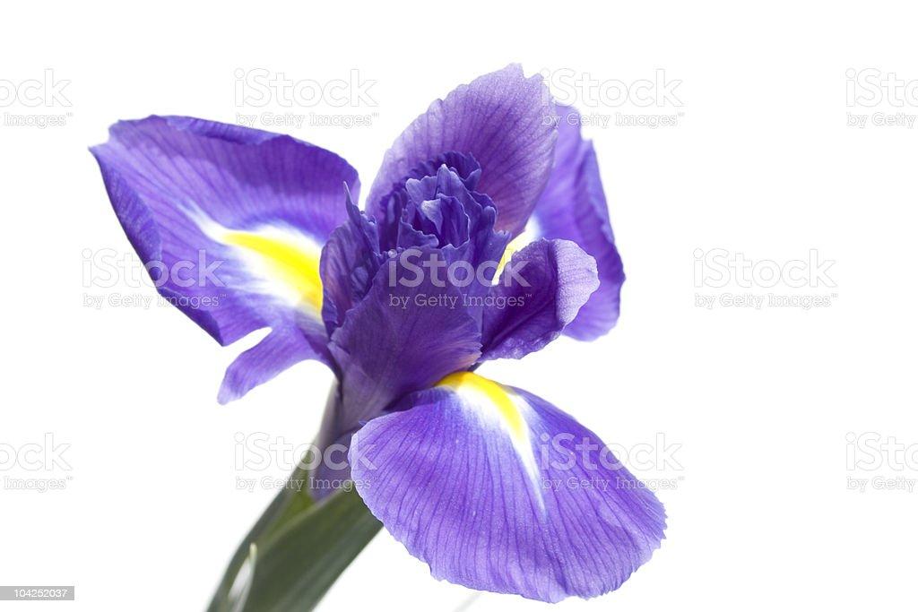 - Iris Lizenzfreies stock-foto