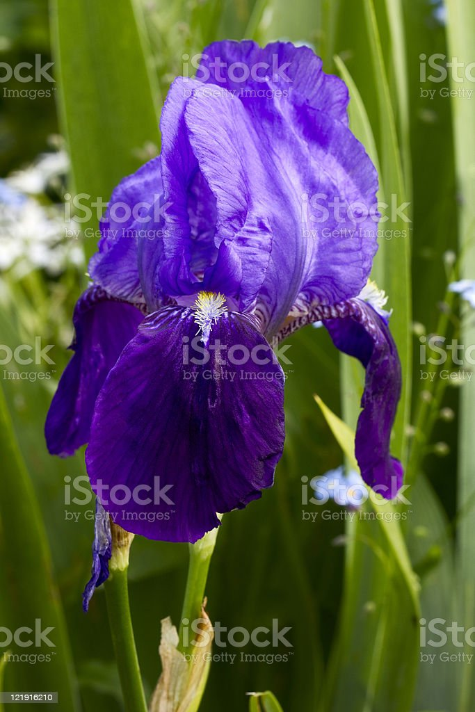 Iris royalty-free stock photo
