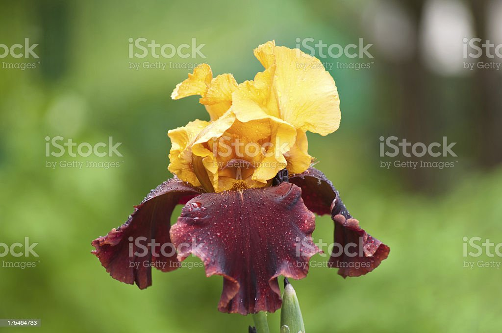 iris royalty-free stock photo