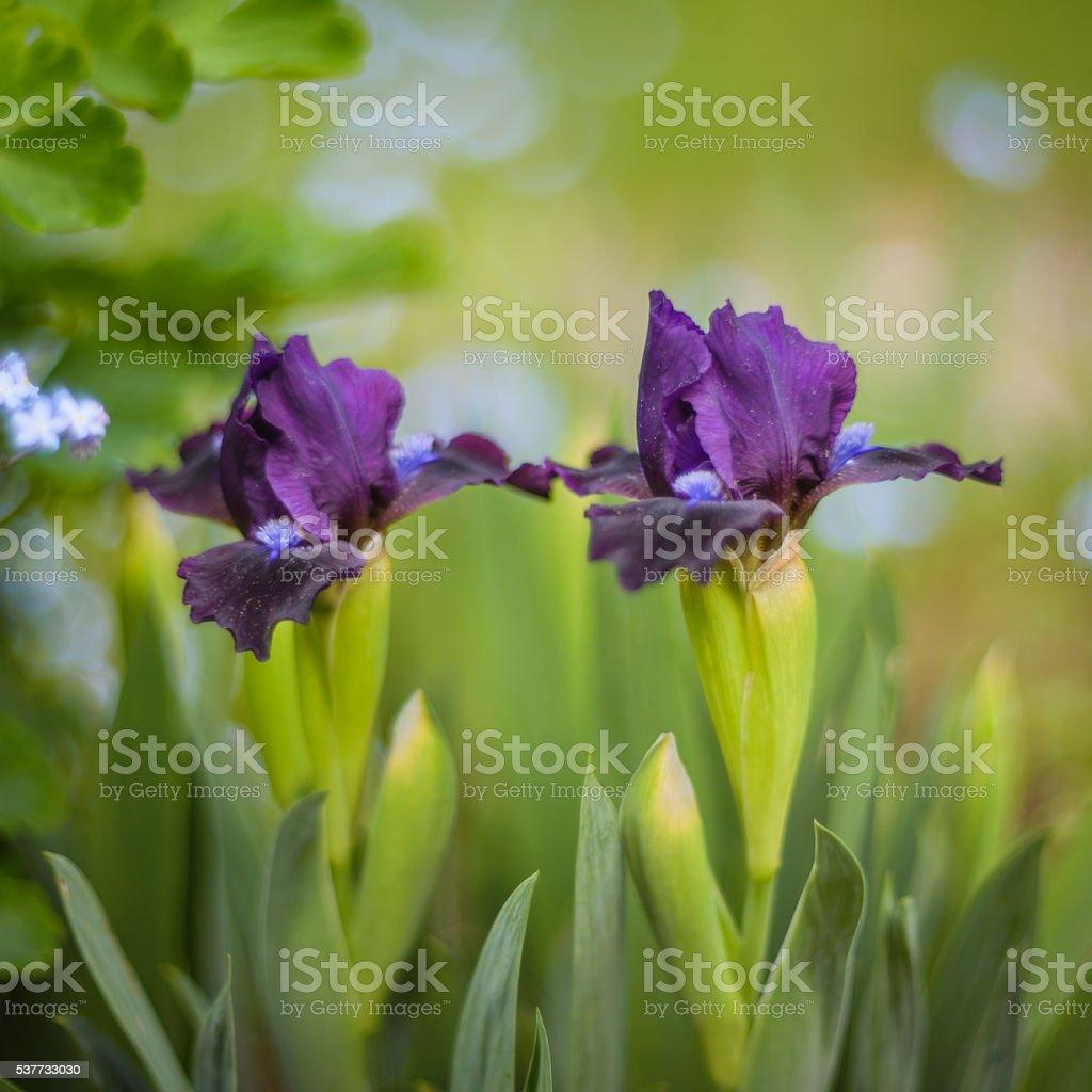 Iris stock photo