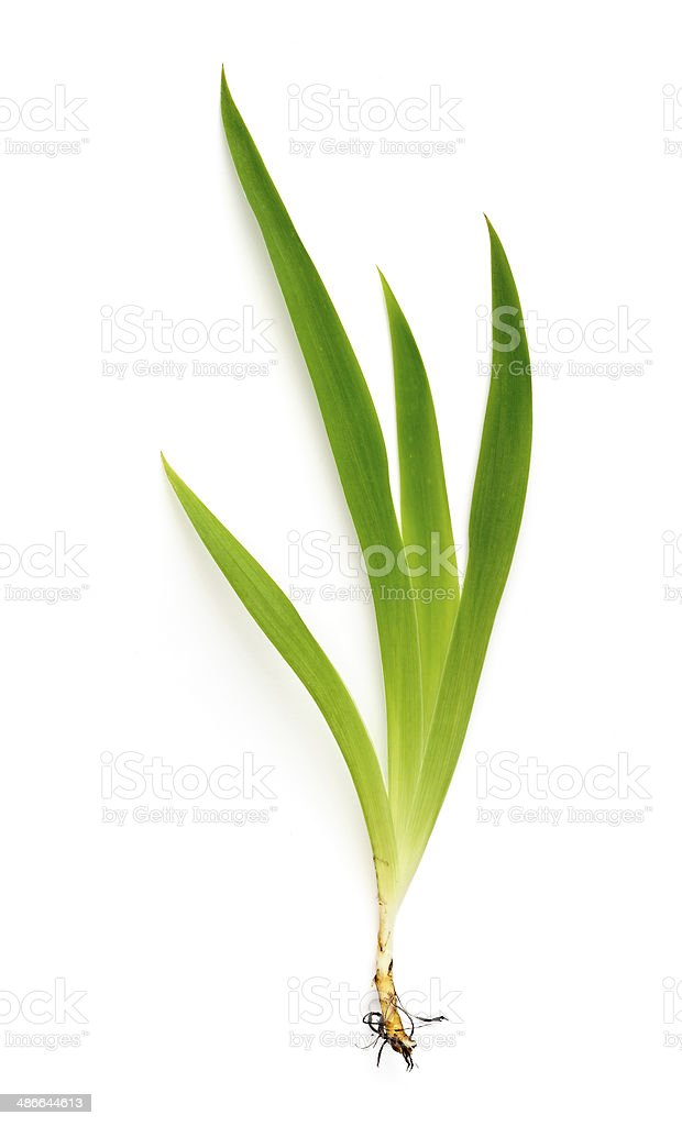 Iris plant with roots stock photo