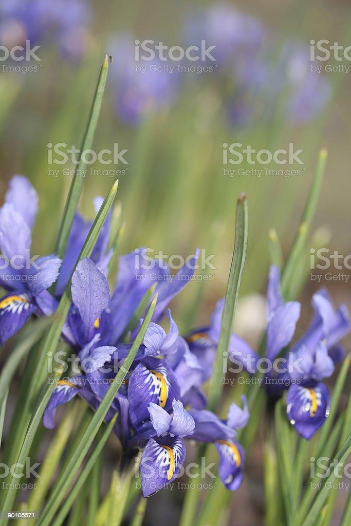 iris reticulata stock photo