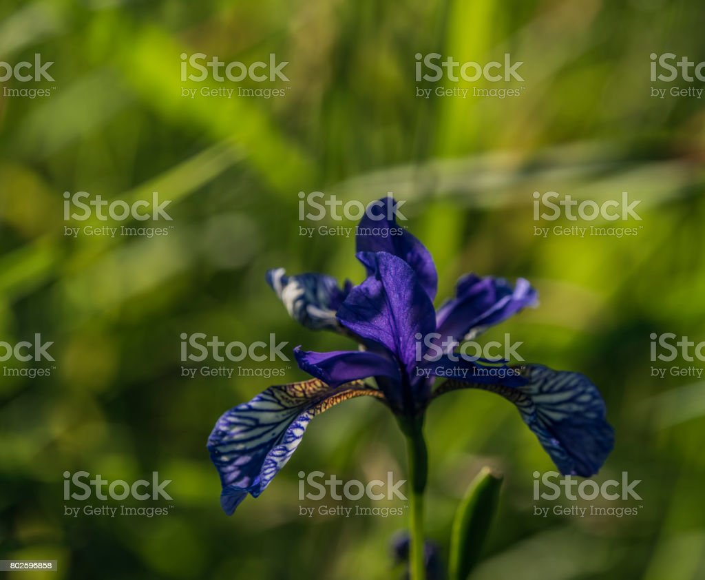 Iris sibirica in green grass stock photo
