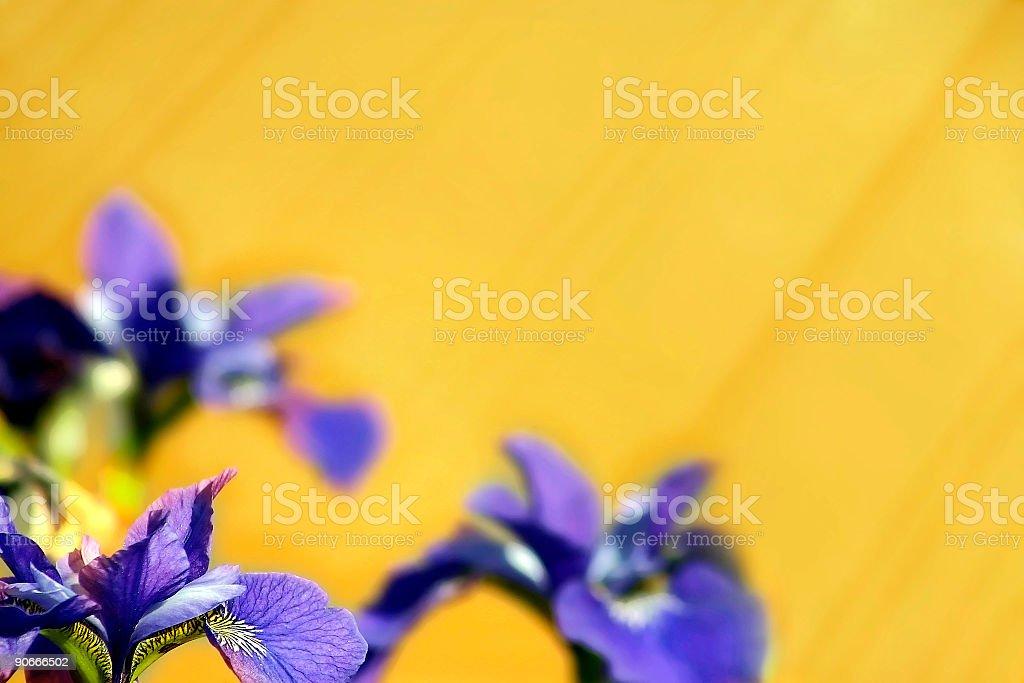 Iris Wild royalty-free stock photo