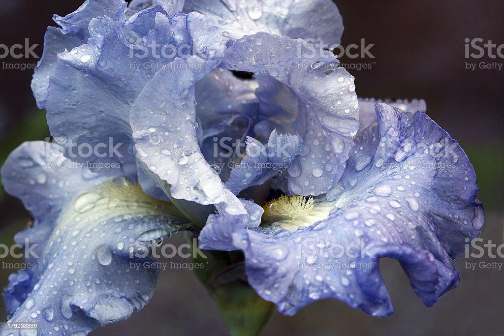 Iris with rain drops royalty-free stock photo