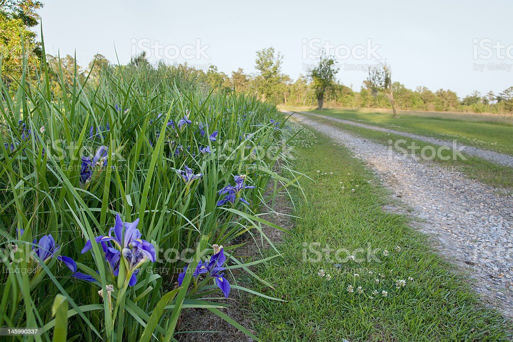 Irises Along a Country Road royalty-free stock photo