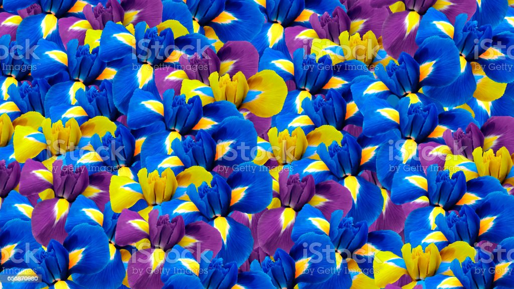 Irises flowers. Garden flowers.  Floral background.  For design for background. Nature.'n 'n stock photo