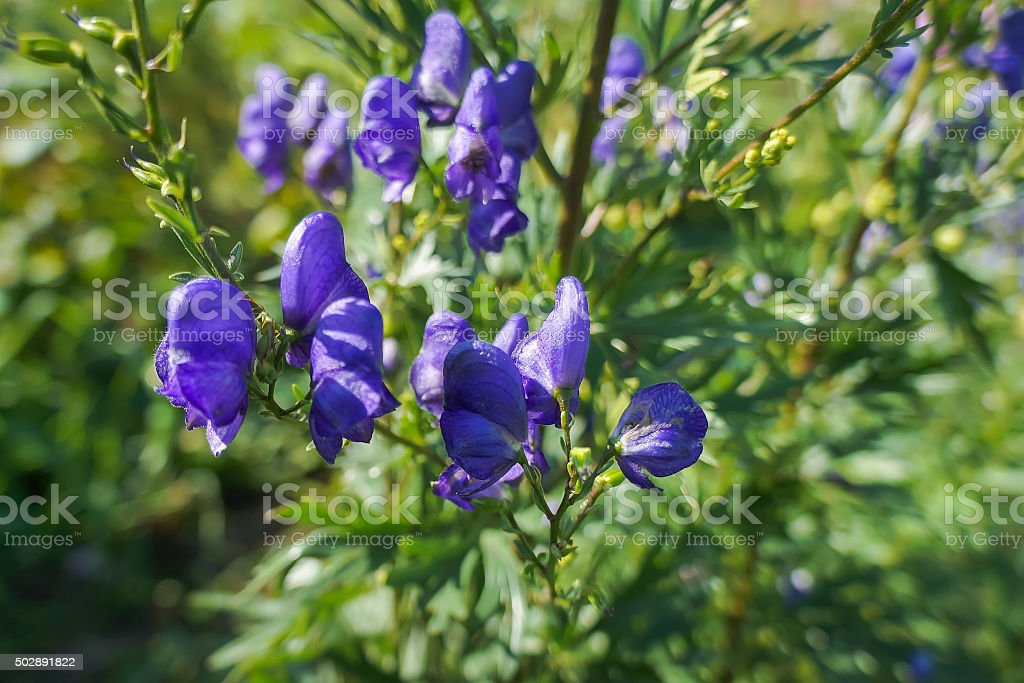 Irises Flores foto de stock royalty-free