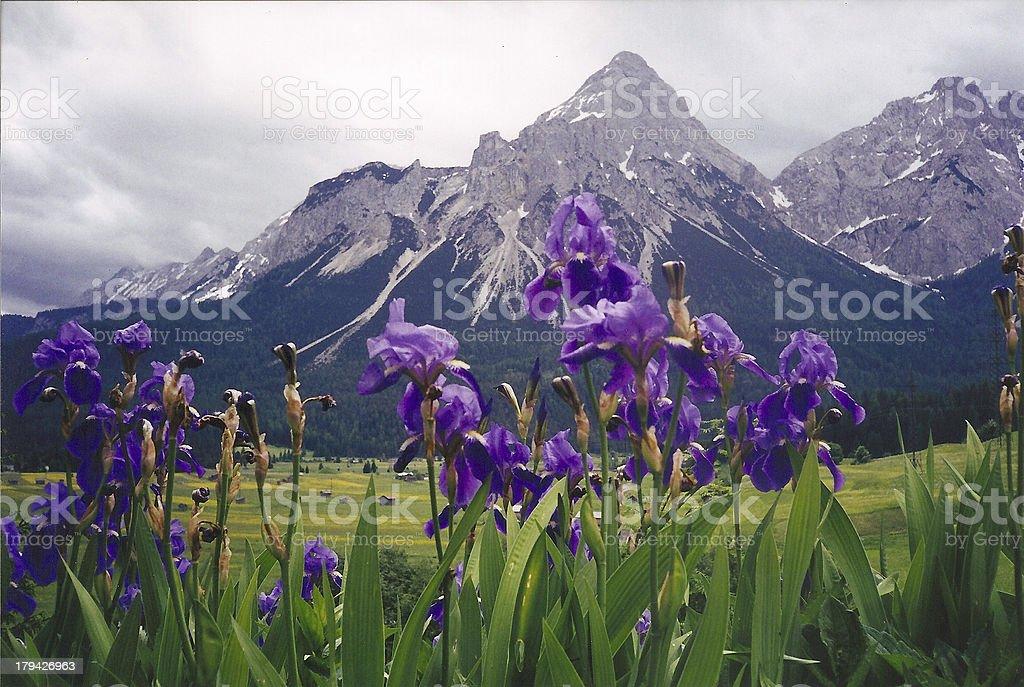 Irises in Austria royalty-free stock photo