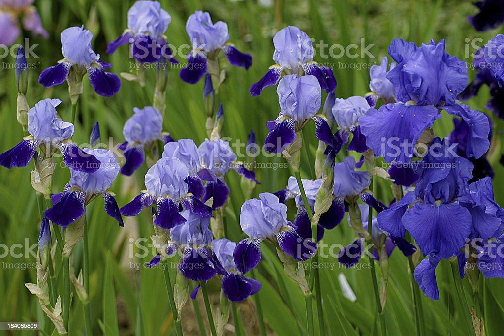 irises in blue stock photo