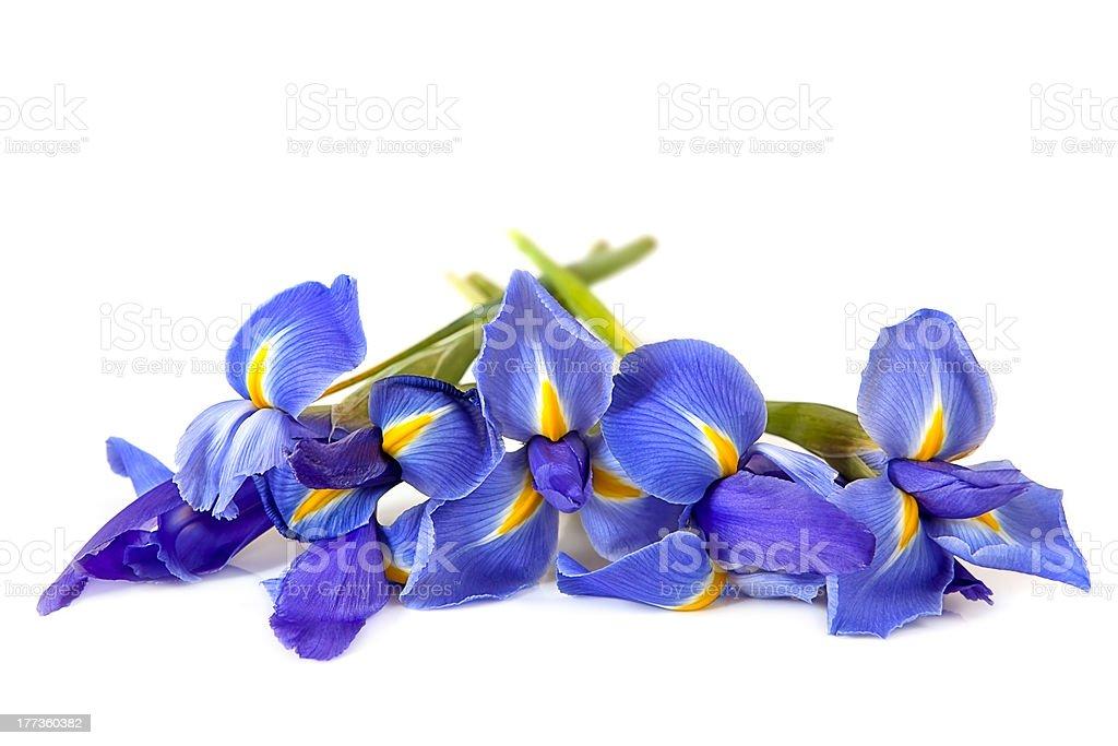 Irises over White stock photo