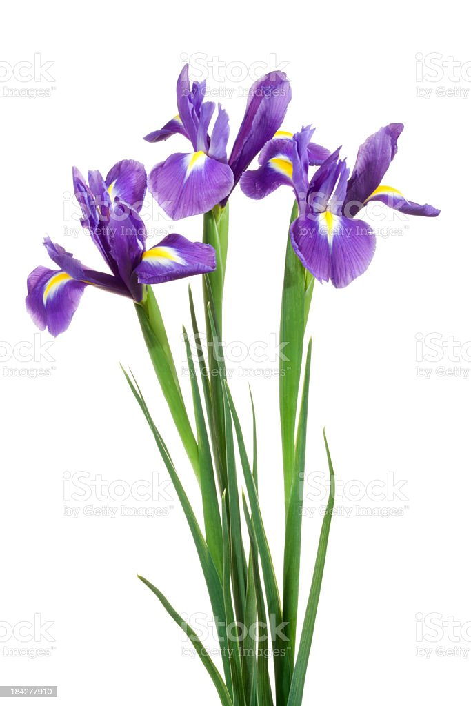 Irises. stock photo