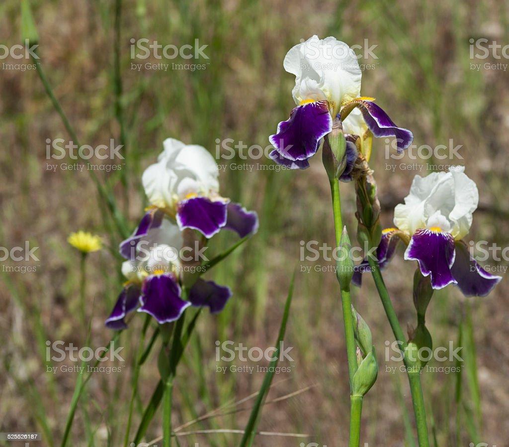 irises stock photo