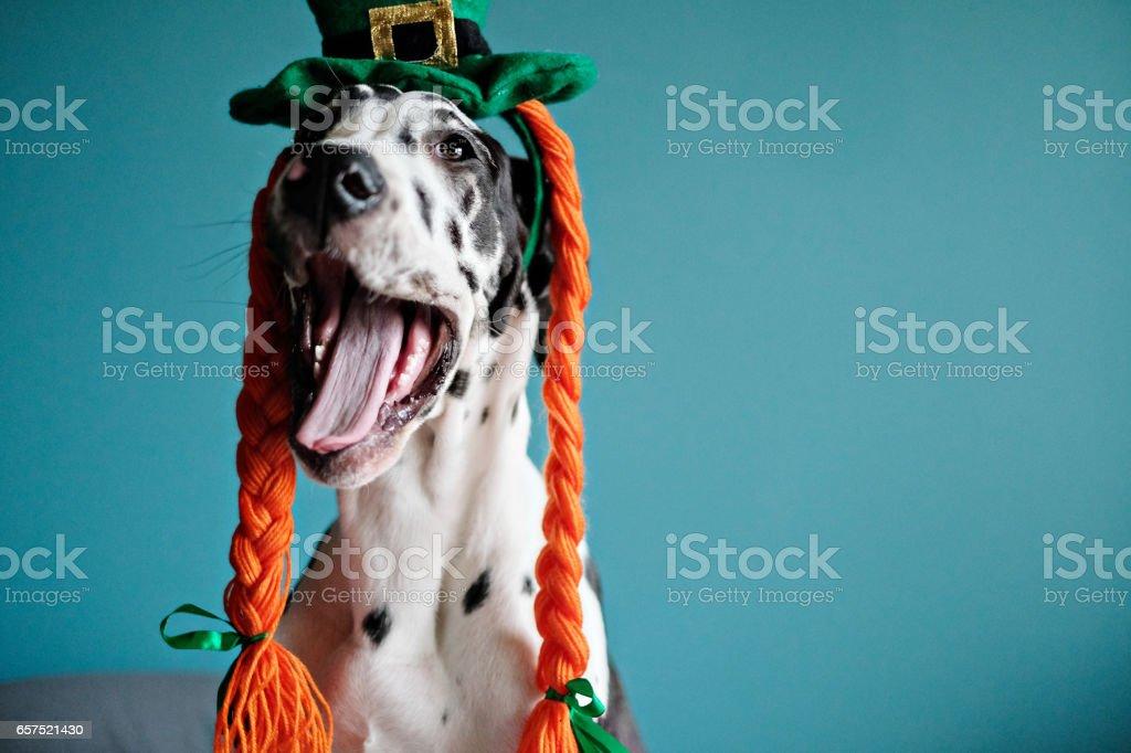 Irish Great Dane stock photo