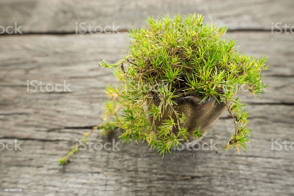 Irish moss (Sagina subulata) stock photo