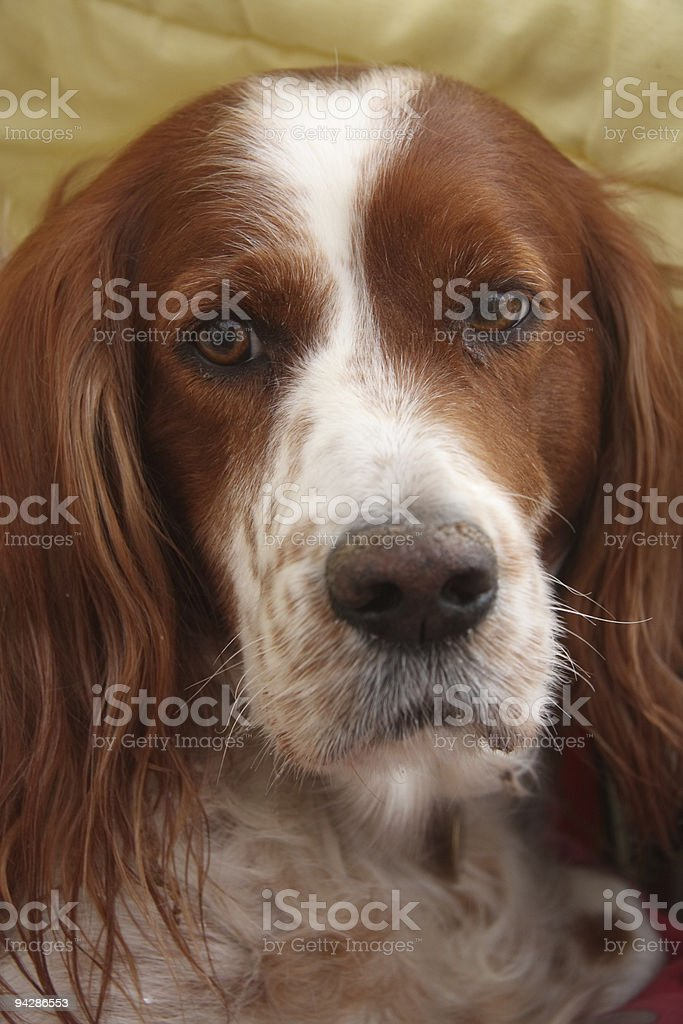 Irish Red and White Setter royalty-free stock photo