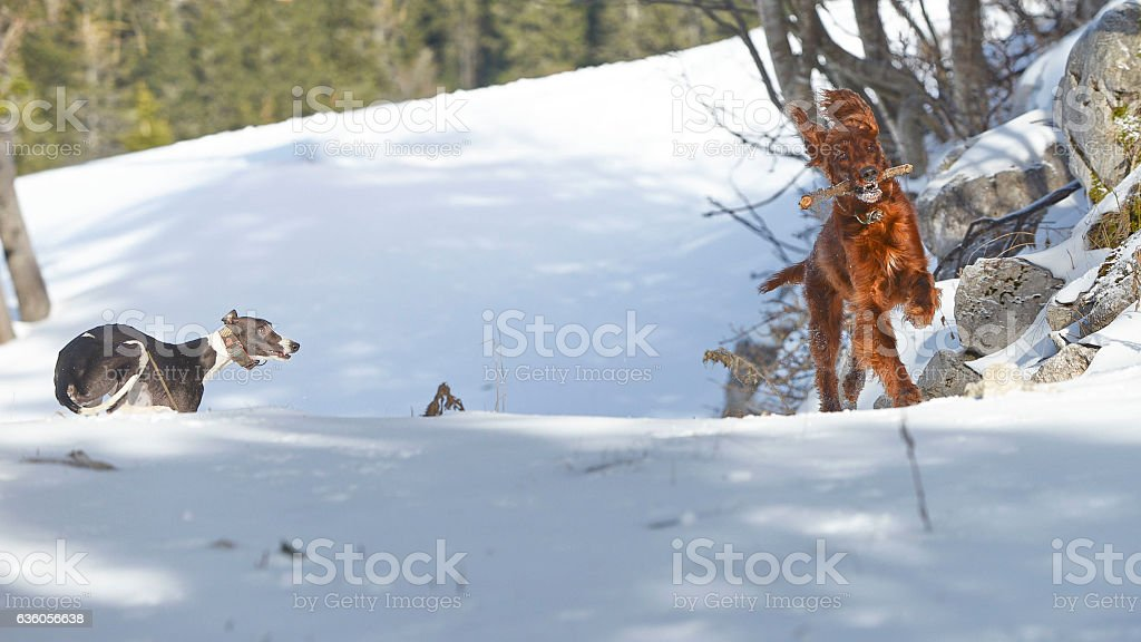 Irish Setter and whippet playing in the snow stock photo